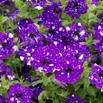 Best New Annuals for 2017