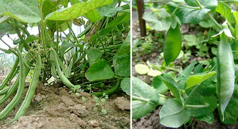 how to grow peas and beans