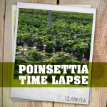 Poinsettia Time Lapse in the Greenhouse