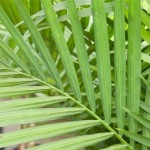 A Short History of Palm Leaves