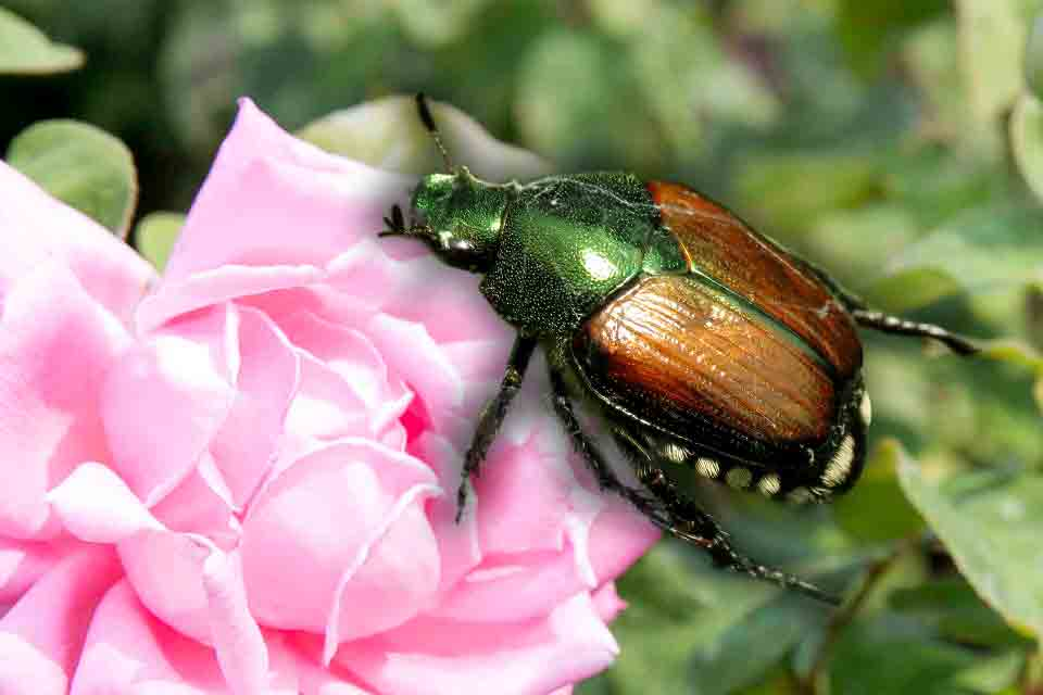 Japanese beetle and rose