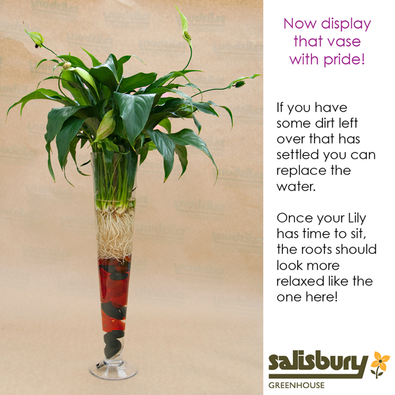 Peace Lily Vase How To Salisbury Greenhouse