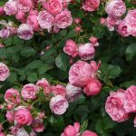 Flowering Shrubs for Cut Flowers