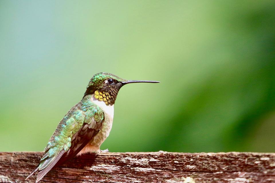 Attracting Hummingbirds Sherwood Park