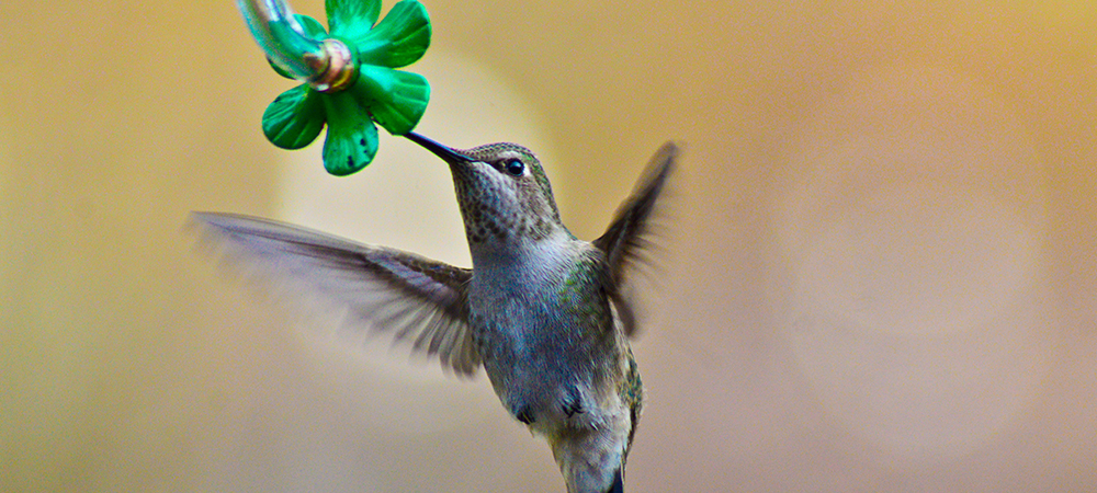 Attracting Hummingbirds Sherwood Park