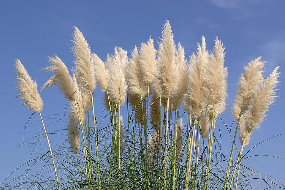 Ornamental Grasses Salisbury Sherwood Park Edmonton