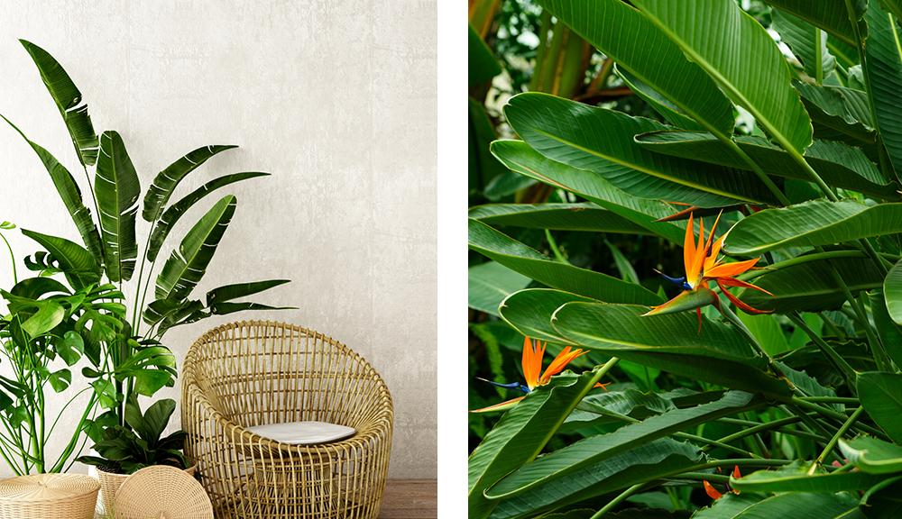 bird of paradise houseplant