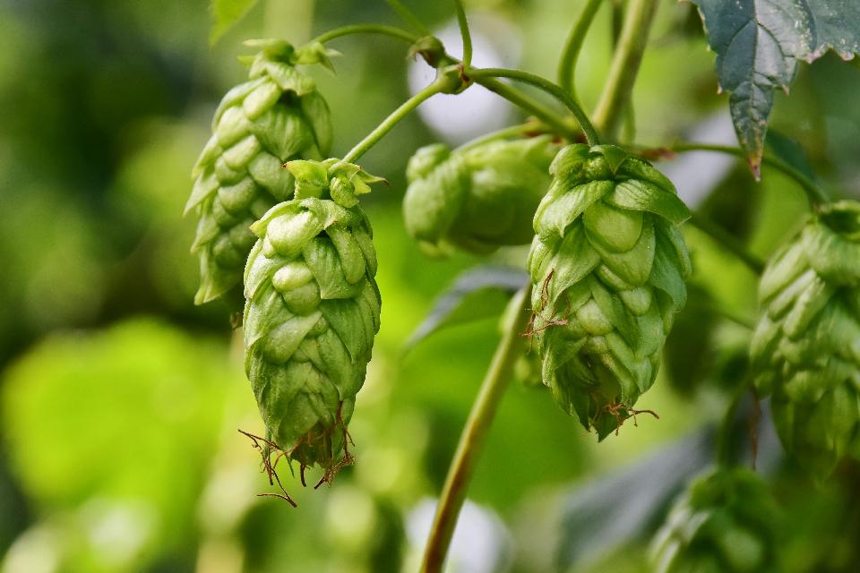 Garden Beer Salisbury Edmonton Sherwood Park