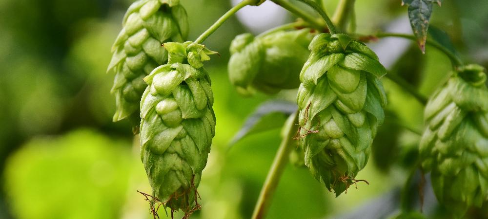 Beer from the Garden - Salisbury Greenhouse