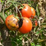 Spotting and Treating Early and Late Blight in the Garden