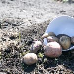 Container Gardening…with Potatoes?