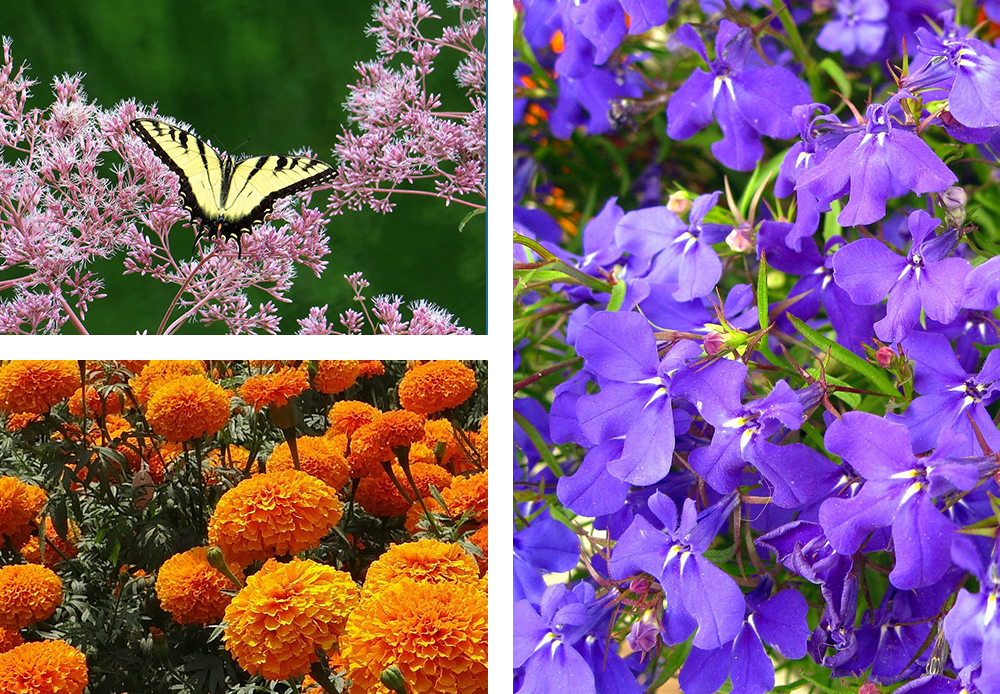 Joe Pye Weed, marigold, and Blue Lobelia