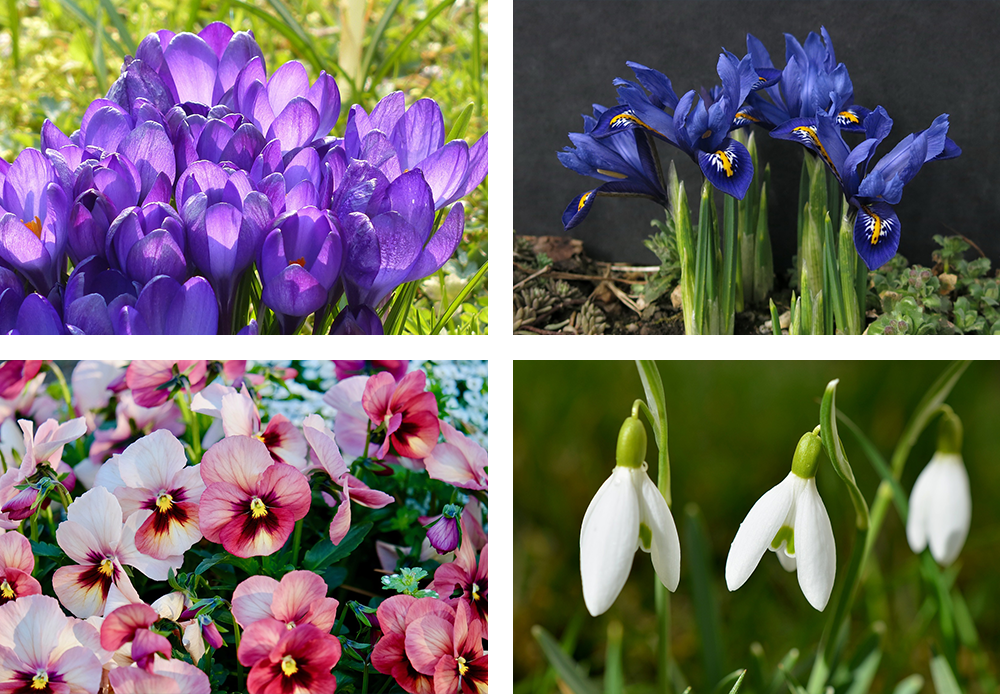crocus, miniature iris, pansies, and snowdrops