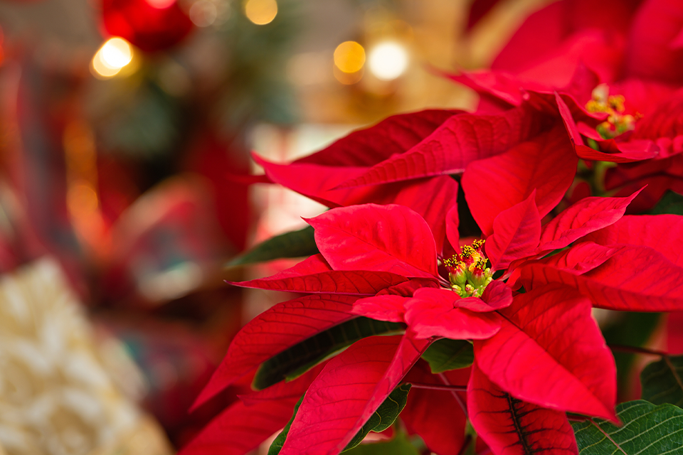 Guide to Holiday Gift Plant Care feature