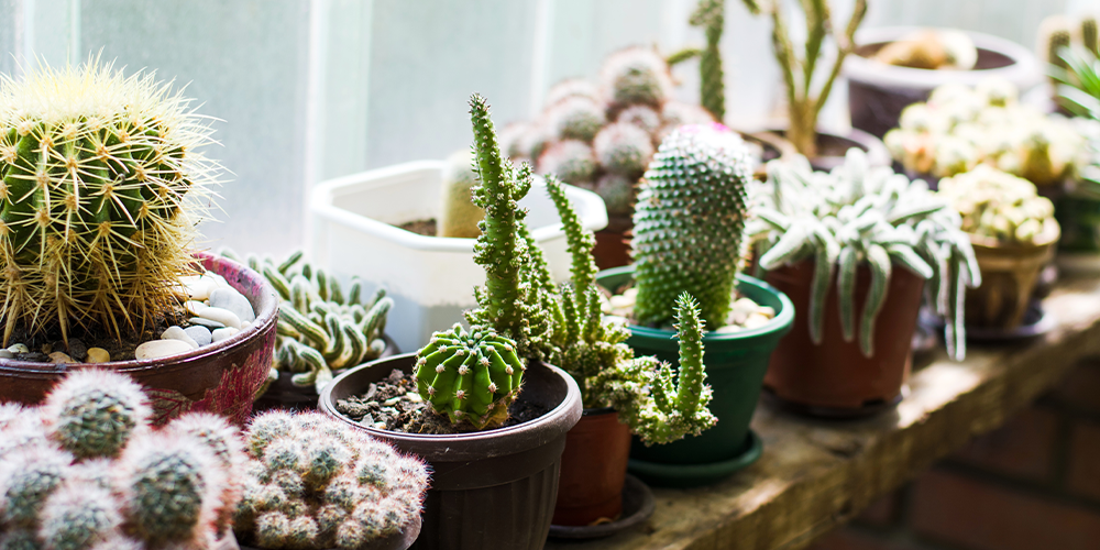 holiday proofing your houseplants cacti