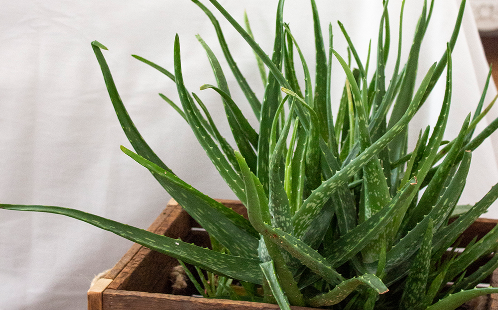aloe plant for the bedroom
