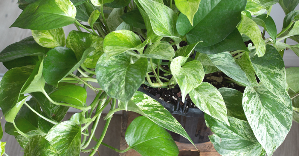 golden pothos plant for the bedroom
