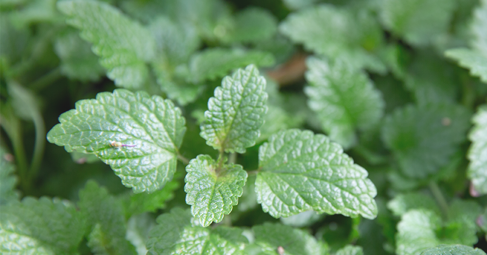 lemon balm plant for the bedroom