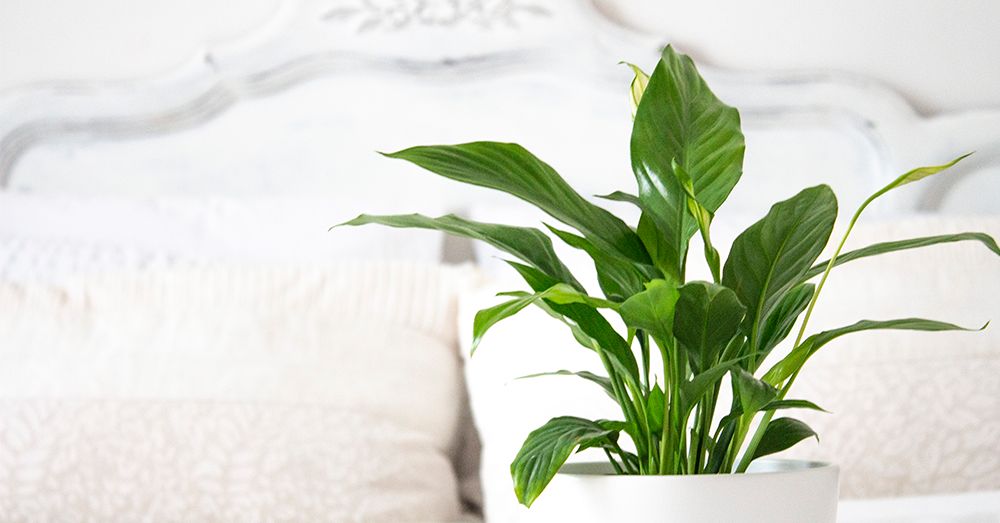 peace lily plant for the bedroom
