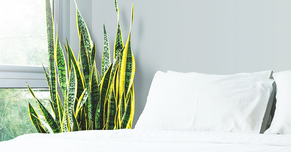 snake plant for the bedroom