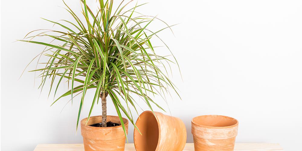How to Care for Dragon Tree-dracaena houseplant-edit