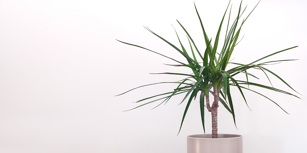 How to Care for Dragon Tree dracaena potted