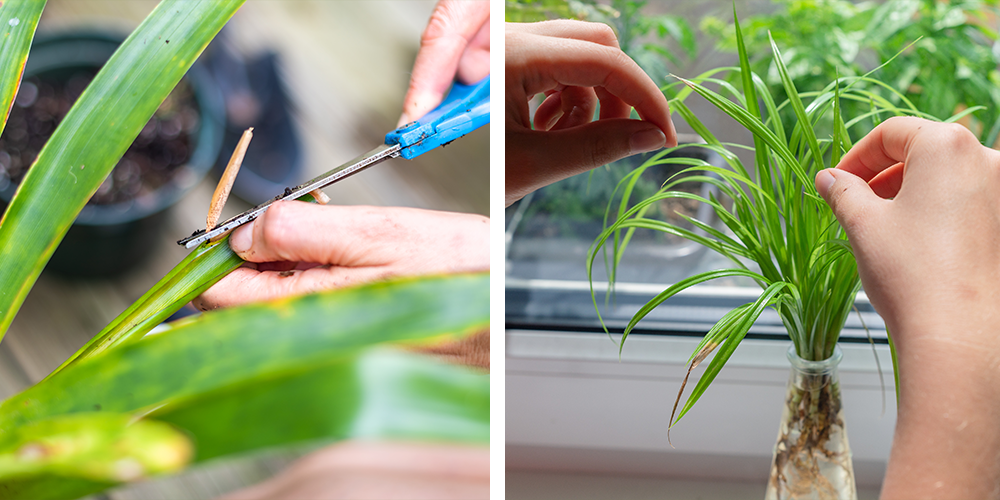 How to Transplant Houseplants-propagating
