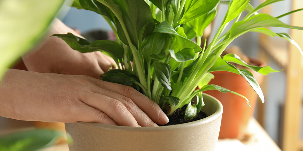 How to Transplant Houseplants-repotting