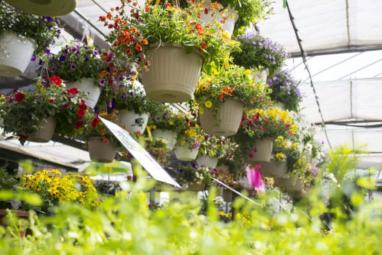 Hanging Baskets at Salisbury Greenhouse