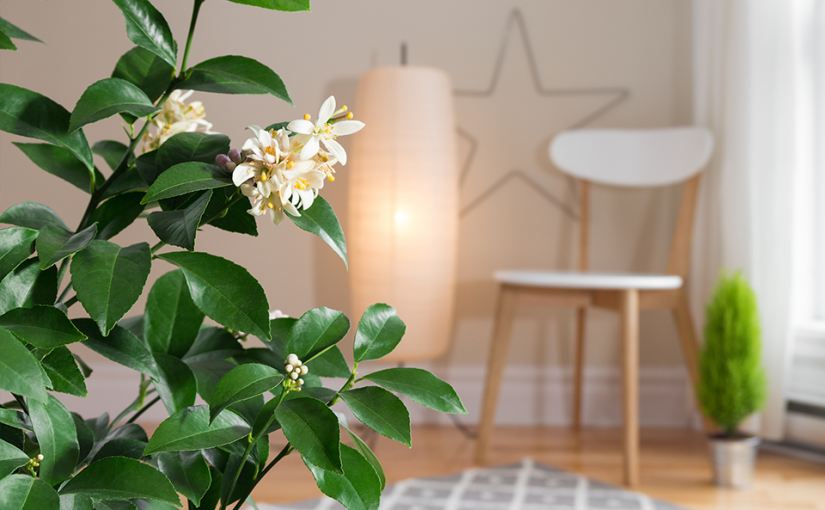 Indoor Citrus Plants for the Home