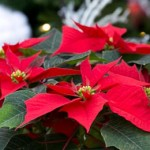Poisonous Christmas Plants: Myths & Facts
