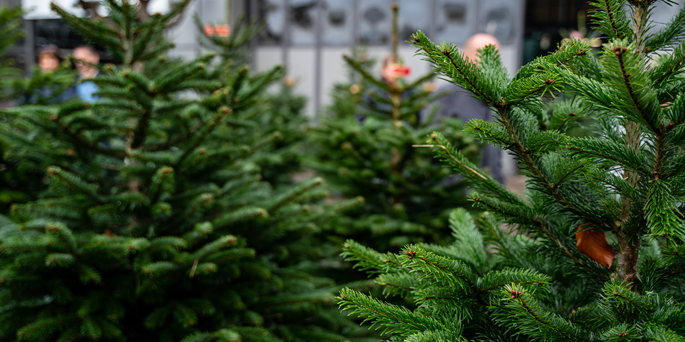 The Legends Behind Popular Christmas Plants evergreens
