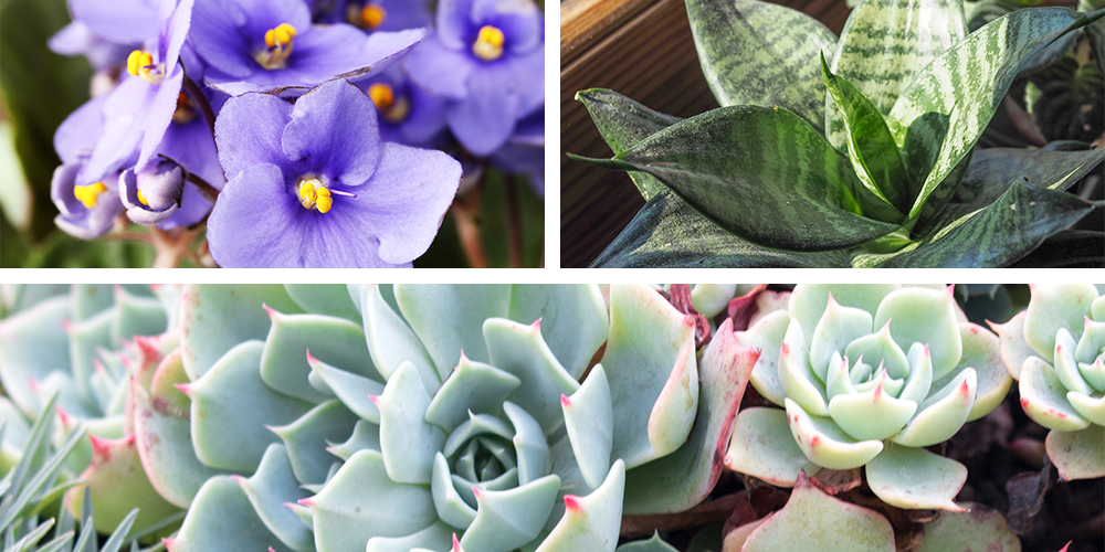 The Ultimate Holiday Gift Guide to Potted Plants african violet sansevieria snake plant echeveria succulent