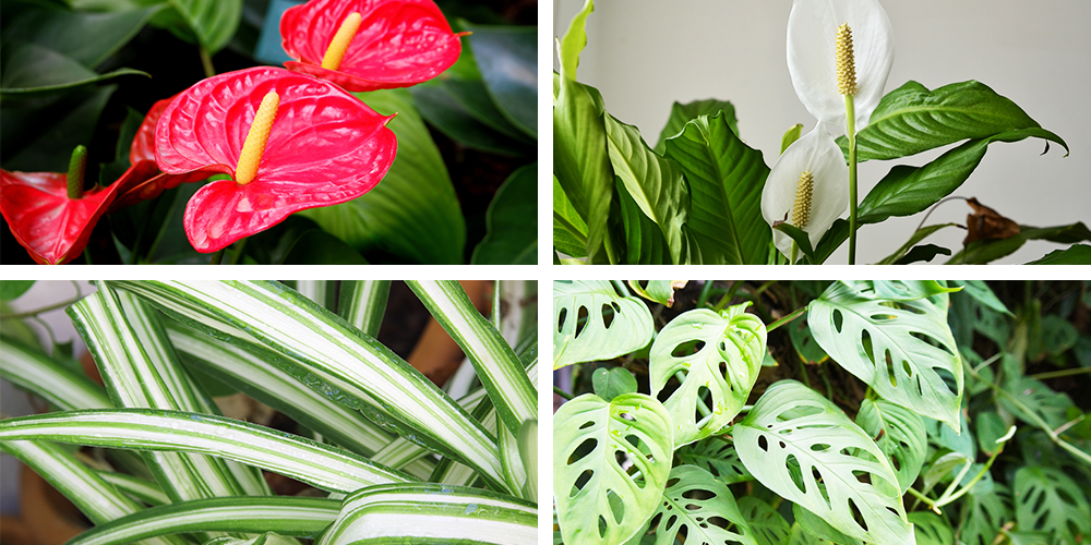 The Ultimate Holiday Gift Guide to Potted Plants anthurium peace lily spider plant monstera adansonii