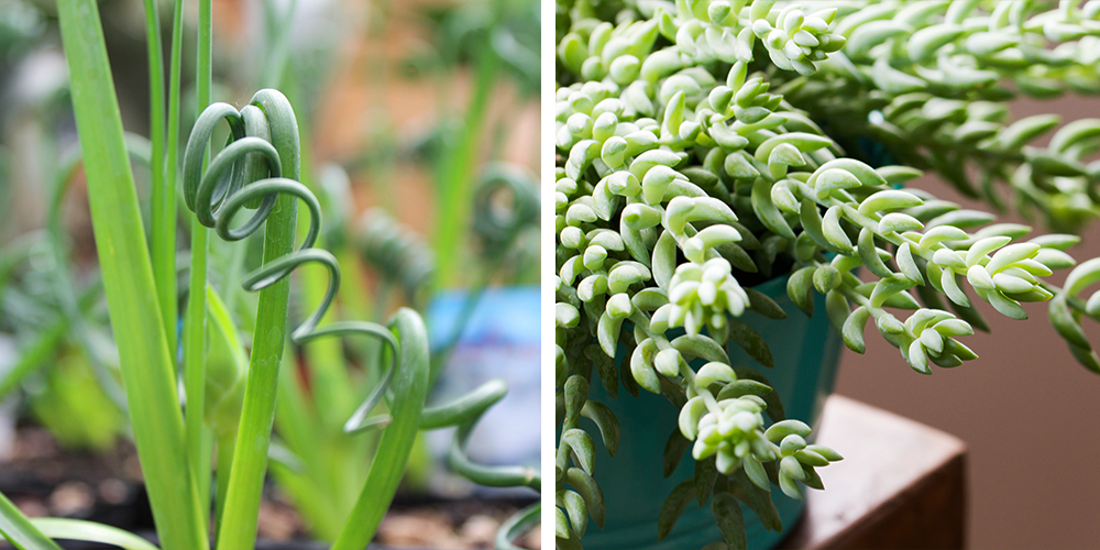The Ultimate Holiday Gift Guide to Potted Plants frizzle sizzle burro's tail succulent