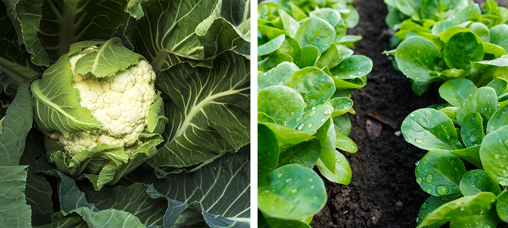 top 7 cool season vegetables and herbs cauliflower salad greens
