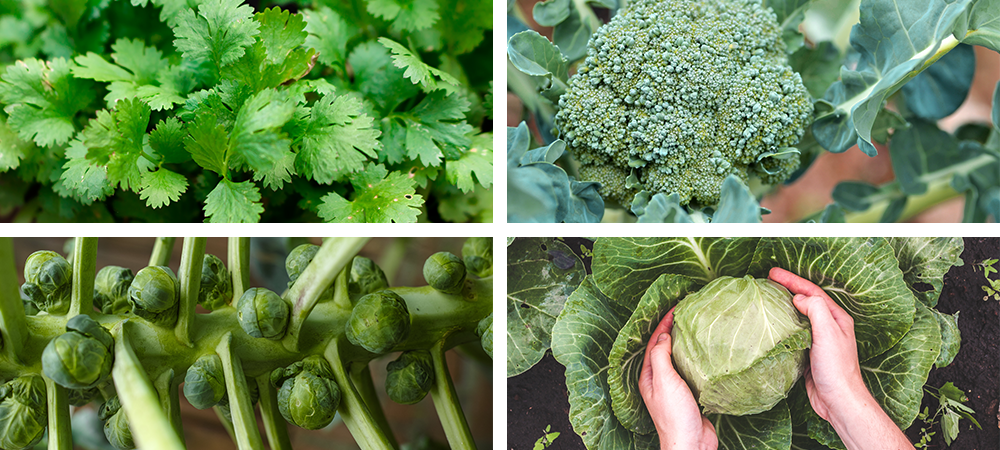 top 7 cool season vegetables and herbs cilantro broccoli brussels sprout cabbage