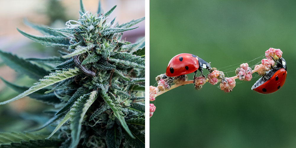 what we learned about gardening in 2019 legal cannabis bugs