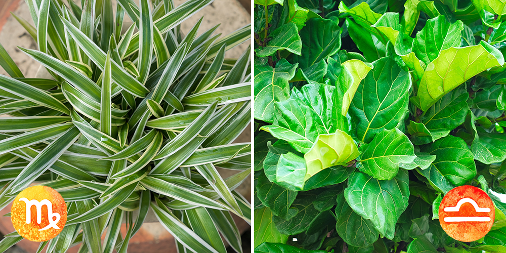 Your Astrological Guide to Houseplants-virgo-libra