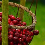 Cherry Maggots