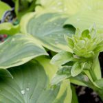 For the Love of Hostas