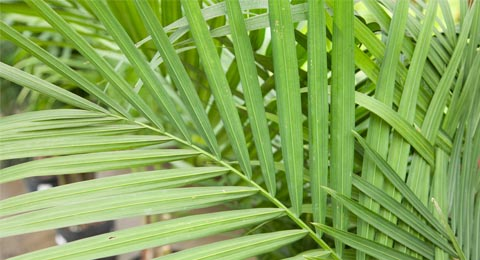 A Short History Of Palm Leaves Salisbury Greenhouse