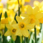 Crushing on Yellow: Spring Daffodils