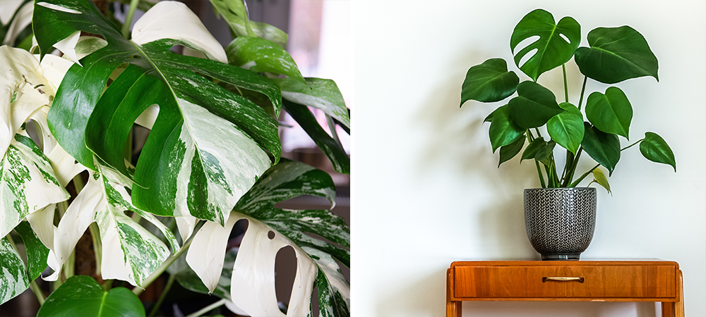 monstera potted variegated