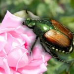 Nematodes and Japanese Beetles