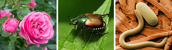 Rose Japanese Beetle and Nematode