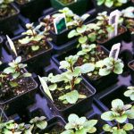 Planting Seeds or Buying Plants: The Pros and Cons