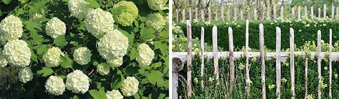 Viburnum and Rustic Garden Fence