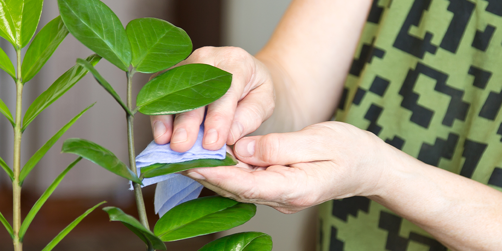 7 Proven Techniques for Debugging Your Houseplants wiping leaves